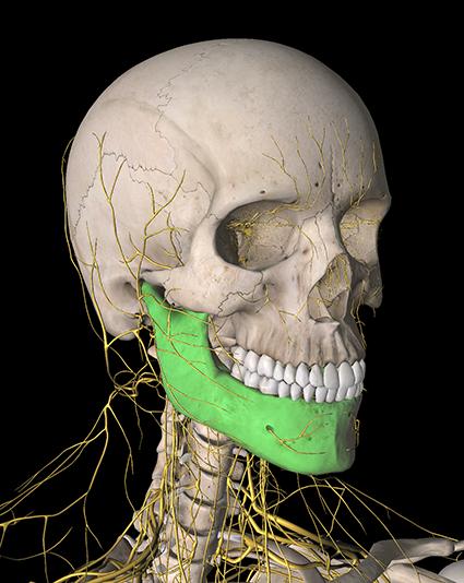käke_skelett